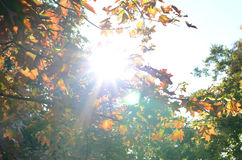 Sun lights in autumn maple leaves Royalty Free Stock Image
