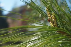 Sun-lit insect on spruce needles creeping up stock image