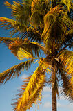 Sun lit Palm. Palm tree in the setting sun of the tropical island of Puerto Rico Stock Photography