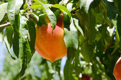 Sun lit peaches on the branches of the tree Stock Photos