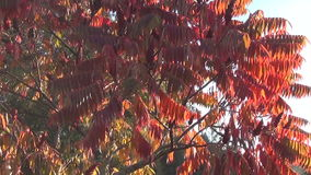 Sun lit tree grass. Early autumn sun lit a beautiful garden tree (Rhus typhina) with jagged red leaves and dewy meadow view goes down stock video footage