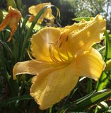 Sun-lit Yellow Flower. Morning sun light shining through yellow flower flower Royalty Free Stock Images