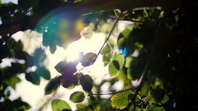 The sun is lost in the foliage of the tropics. Sunlight shines through the leaves, the leaves of the trees glow in the sunlight, close up against the sun stock video