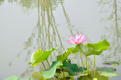 Sun lotus Royalty Free Stock Photo