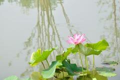 Sun lotus Royalty Free Stock Photo