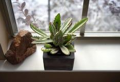 Sun-loving succulent specimen Royalty Free Stock Photos