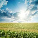 Sun in low clouds over field with green maize Stock Image