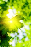 Sun through maple leaf Stock Images
