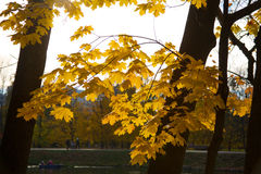 Sun in a maple leaf. The sun filled maple leaves in the fall Stock Photos