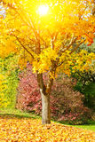 Sun on a maple tree Royalty Free Stock Photography