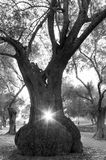 Large olive tree and sun in the middle. From the hole in a big trunk of an ancient olive tree, the rays of light coming out the rays of light of the setting sun Royalty Free Stock Images