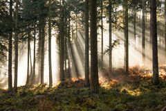 Sun through mist in forest. Sunlight through mist in a Lake District Forest in Autumn, UK Royalty Free Stock Images