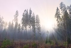 Sun in misty forest Stock Image
