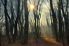 Sun in morning forest Royalty Free Stock Images