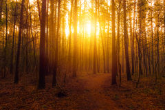 Sun in morning forest Royalty Free Stock Photo