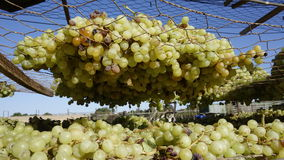 Sun Muscat Grapes. Royalty Free Stock Photos