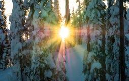The Sun når en höjdpunkt till och med den flockades barrträds- ställningen av träd Fotografering för Bildbyråer