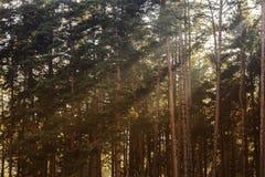 Sun na floresta Fotografia de Stock