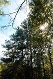 Sun nas árvores na floresta fotografia de stock royalty free