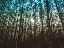 Sun nas coroas das árvores foto de stock