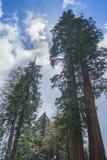 Sun nascosto dalla sequoia gigante fotografia stock