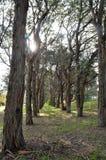 Sun negli alberi Fotografia Stock Libera da Diritti