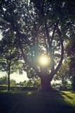 Sun nell'albero Fotografie Stock