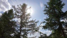 Sun nos ramos do abeto vermelho filme