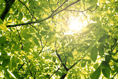 Sun through nut foliage. In the summer Stock Images
