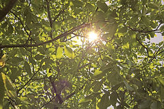 Sun through nut foliage. In the summer Royalty Free Stock Images
