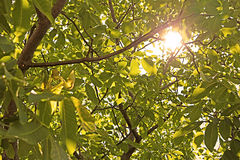 Sun through nut foliage. In the summer Royalty Free Stock Photography
