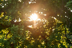 Sun through oak leaves. Sun breaking through oak branches and leaves Stock Photo