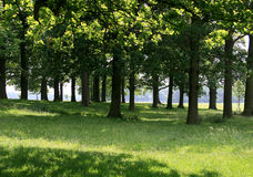 Sun through the oak trees. Oak trees, in the summer, with sun shining through the leaves Royalty Free Stock Photo