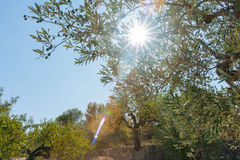 Sun through olive groves Castell de Castells, Spain. Stock Images