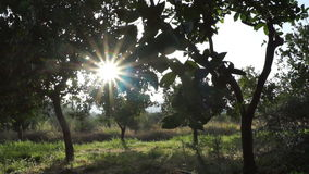 Sun and orange trees (2). A field of orange trees in front of the sun stock video