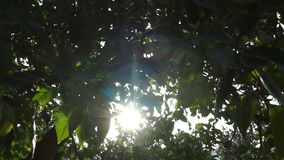 Sun and orange trees (3). A field of orange trees in front of the sun stock video footage