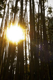 Sun over bamboo. Backlit bamboo forest with sun on frame and flare Stock Images