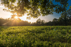 Sun over corn field. Beams of warm light of setting sun breaking through leaves over a corn field Stock Images