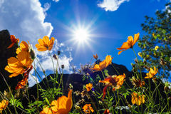 Sun over daisies in Baguio City Stock Image
