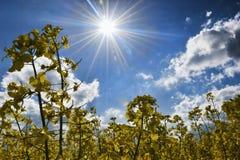 Sun over a field of oilseed rape Stock Photo