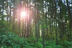 Sun over Forest during Sunlight Stock Image