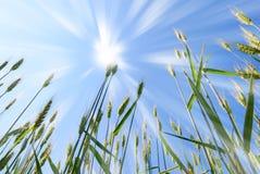 Sun over grain  field. Sun over grain field in spring Royalty Free Stock Image