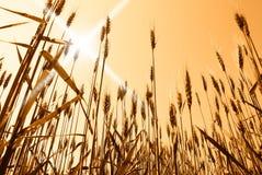 Sun over grain  field Stock Photography
