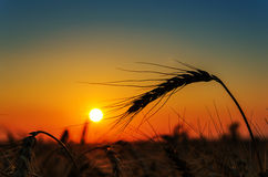 Sun over grain field Stock Image