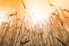Sun over grain field Stock Photos