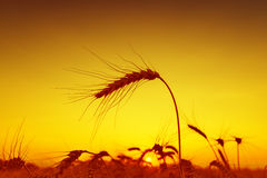 Sun over grain field Royalty Free Stock Photos