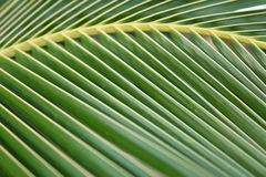 Sun over green palm leaves. Macro shot sheet coconut palms stock images