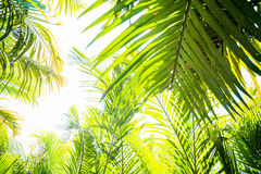 Sun over green palm leaves Stock Image