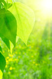Sun over poplar leaves Stock Photography