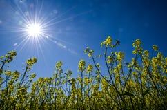 Sun over rape field Stock Photos